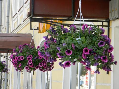 petunija-na-balkone